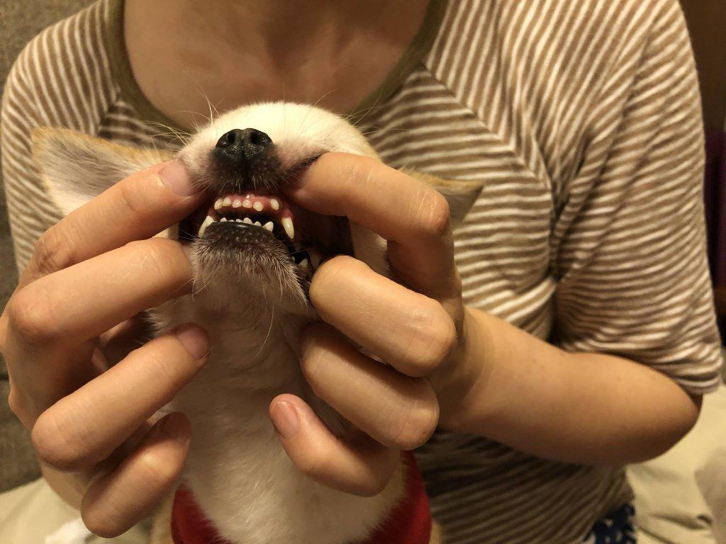 犬 歯石除去