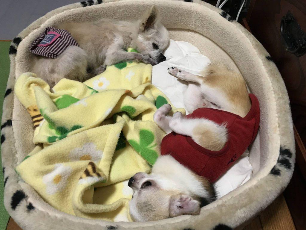 2匹のチワワでベッドを共有