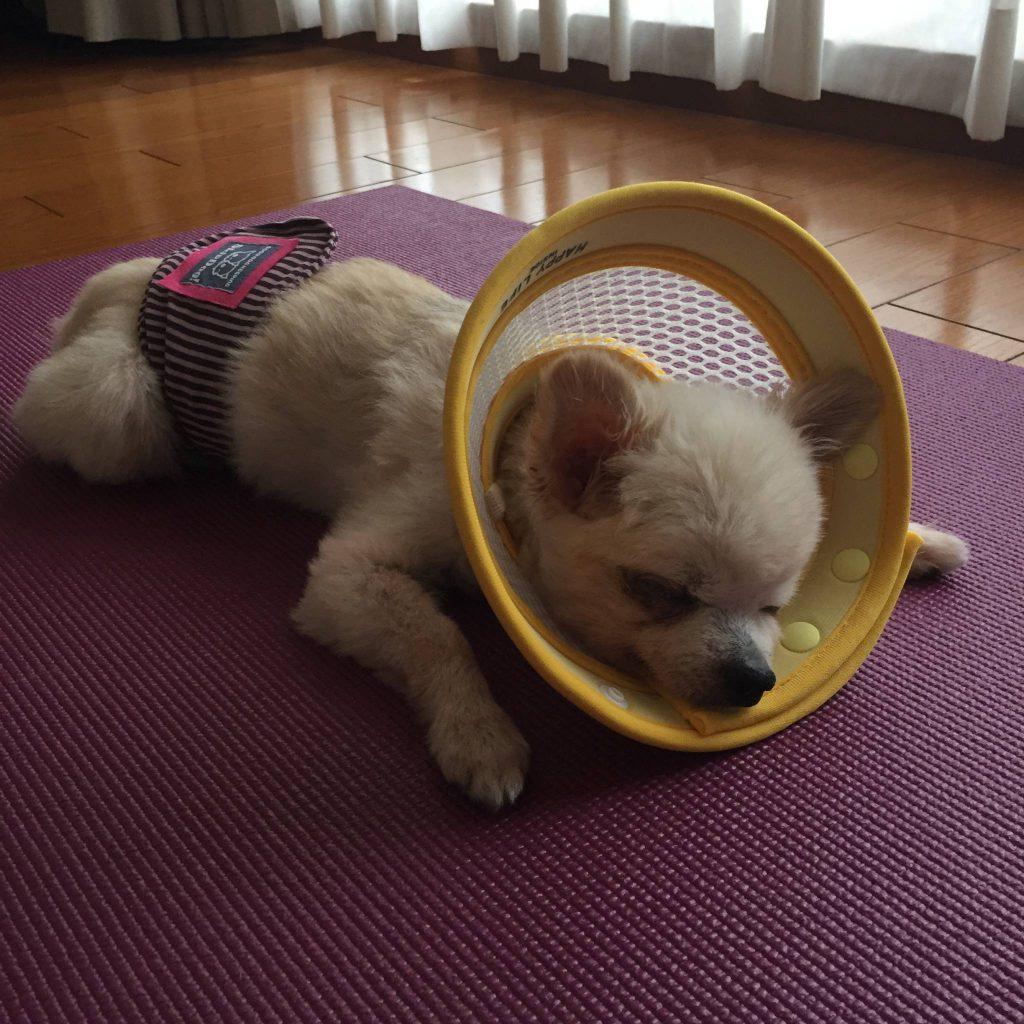 シニア犬 老犬 エリザベスカラー