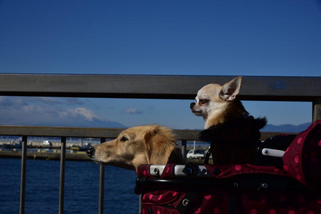 江ノ島 犬 散歩
