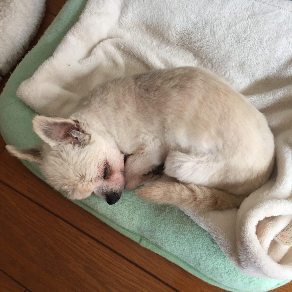 老犬 シニア犬 丸くなって寝る
