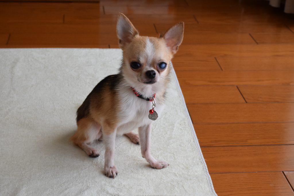 保護犬 チワワ