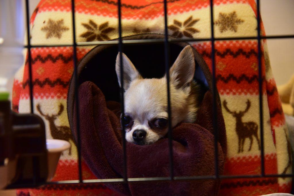 犬 チワワ ドームベッド