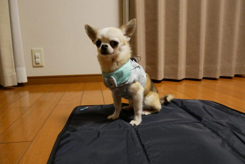 犬 しつけ チワワ ドッグ トレーニング