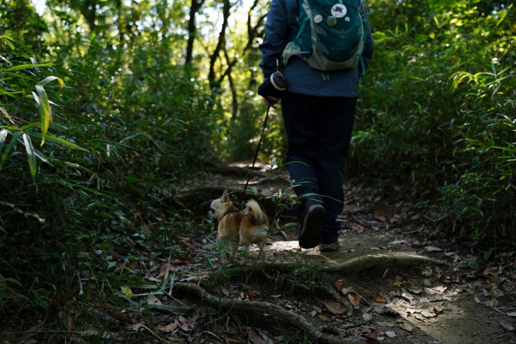 犬 しつけ チワワ ドッグ トレーニング 里山 散歩